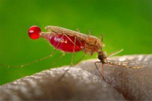 malyariyny-komar